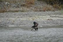 3-juvenile-bald-eagle-devouring-a-salmon