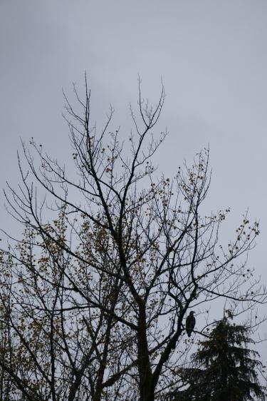 4-juvenile-bald-eagle